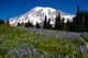 Mt Rainier & Lupine from Lakes Trail - Aug 13, 2013
